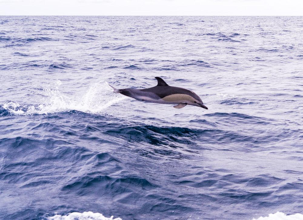 Hoppende delfin