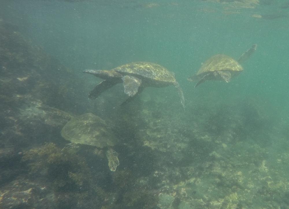 Det var mange skilpadder på Galapagos. Her er tre stykker