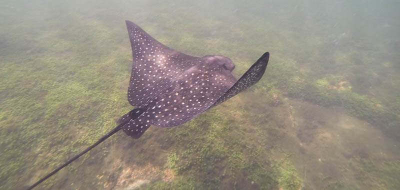 Spotted eagle ray, ca. 1 meter i