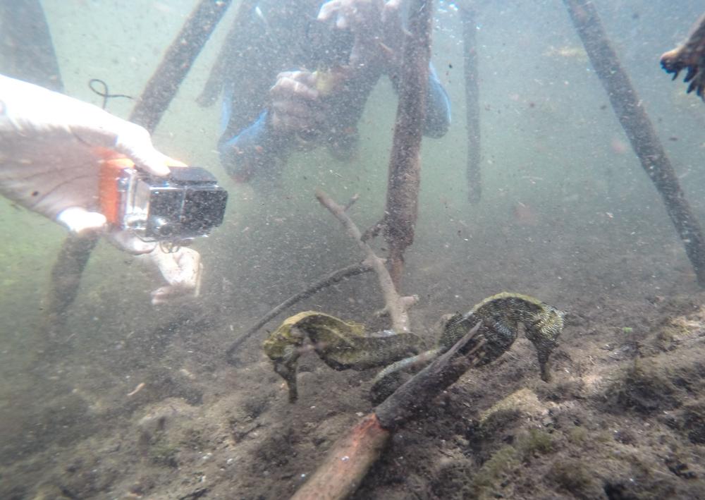 To gravide sjøhester omringet av litt vel mange snorklere