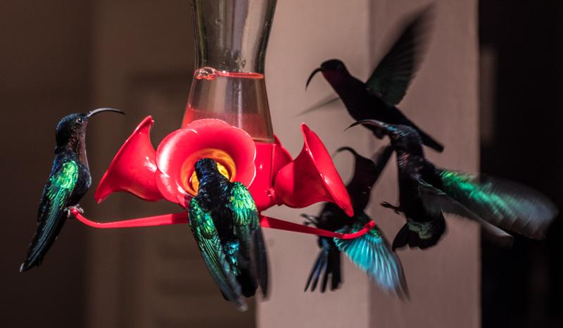 Det var mange kolibri rundt drikkeautomatene